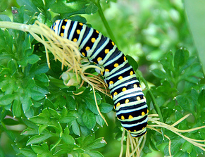 Photo: http://themagnifyingglass.typepad.com/weblog/2009/05/how-to-raise-swallowtail-caterpillars.html